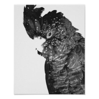 Black and White Cockatoo Portrait Poster