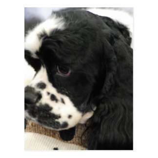 Black and White Cocker Spaniel Postcard
