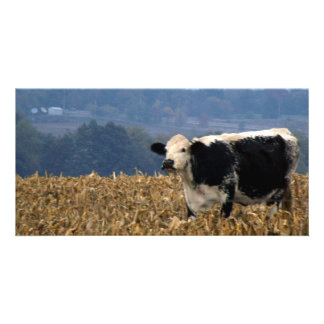Black and White Cow grazes in freshly plowed field Personalized Photo Card