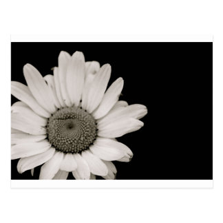 Black and White Daisy Flower Postcard