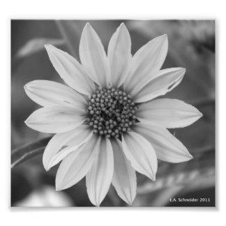 Black and White Daisy Photo by E.A. Schneider