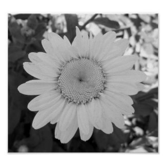 Black And White Daisy Photograph Poster
