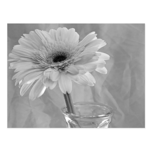 Black and White Daisy Post Card