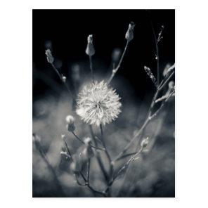 Black and White Dandelion Photography Postcard