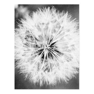 Black and White Dandelion Postcard