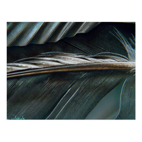 black and white feathers postcard