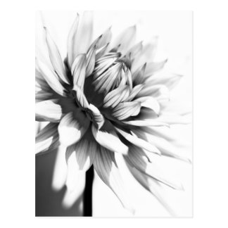 Black and white Flower Postcard