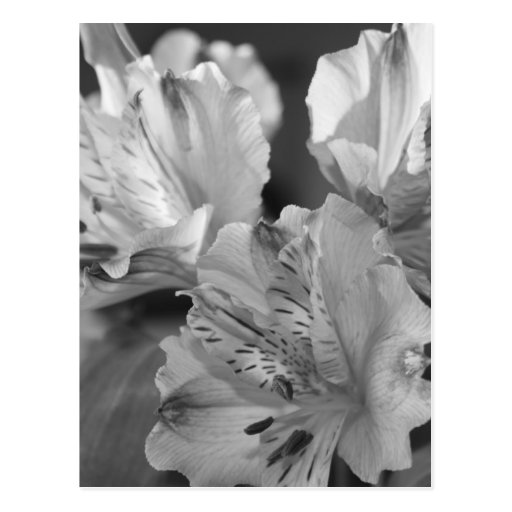 Black and White Flowers Post Card Postcards