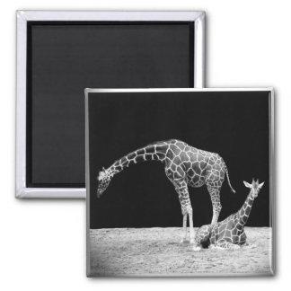 Black and White Giraffes Two Giraffes Square Magnet
