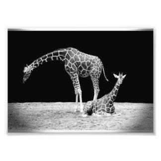 Black and White Giraffes Two Giraffes Photo Print
