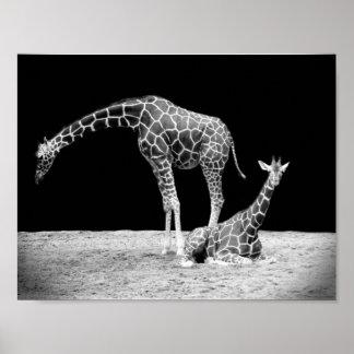 Black and White Giraffes Two Giraffes Poster