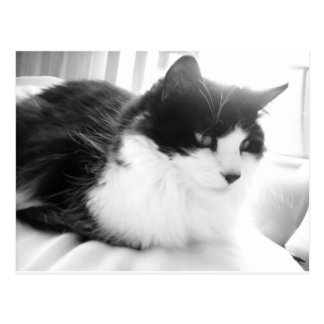 Black and White Long-haired Kitty Cat Postcard