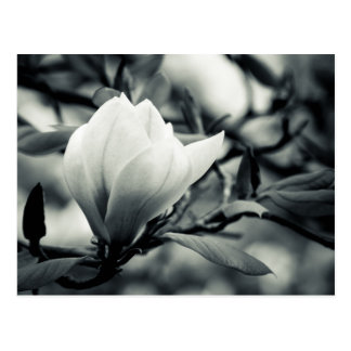 Black and white magnolia postcard