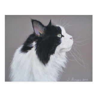 Black and White Maine Coon cat. Postcard