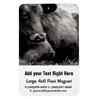 Black and White Photo of Black Angus Steer Rectangular Photo Magnet