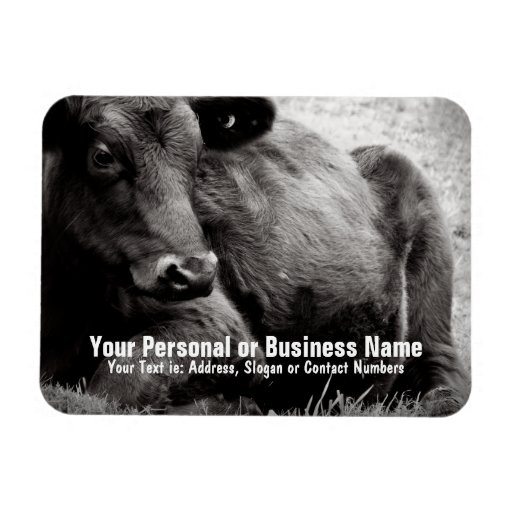 Black and White Photo of Black Angus Steer Flexible Magnets