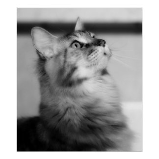 Black And White Photograph Maine Coon Kitten Poster