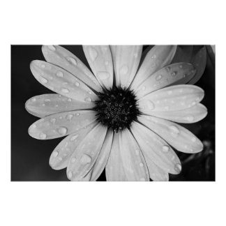 Black and White Photography of African Daisy Poster