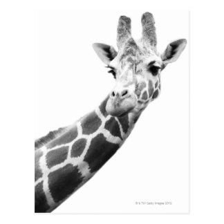 Black and white portrait of a giraffe postcard
