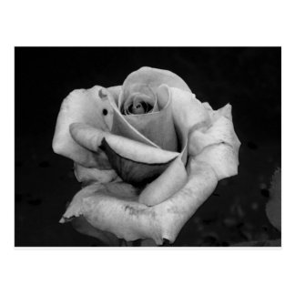 Black and White Rose Postcard