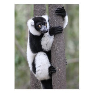 Black and White Ruffed Lemur on Tree Postcard