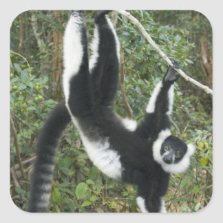 Black and White Ruffed Lemur, (Varecia Square Sticker