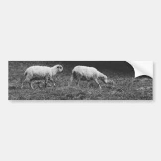 Black and White Sheep In A Pasture Photo Bumper Sticker