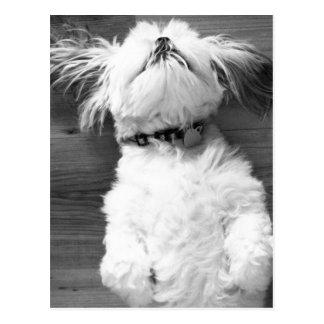 Black and White Shih-Tzu Puppy Postcard