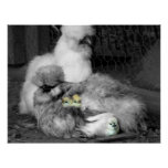 Black and White Silkie Chickens with yellow Chicks Poster