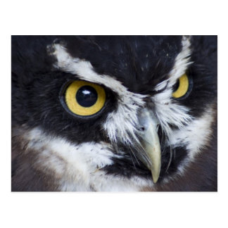 Black and White Spectacled Owl Postcard