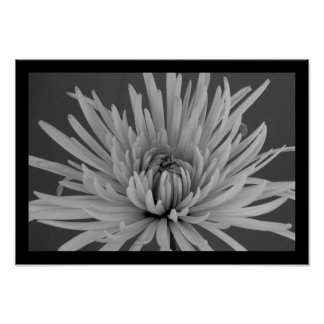 Black and White Spider Mum Poster
