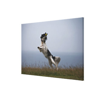 black and white Springer Spaniel playing with Canvas Print