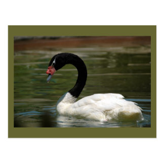 Black and White Swan Postcard