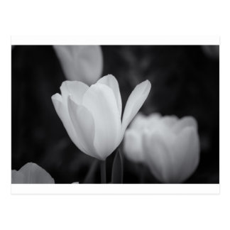 Black and White Tulip Postcard