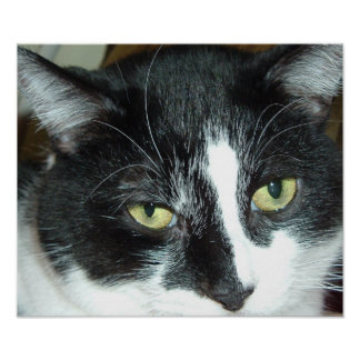 Black and White Tuxedo Cat Posters