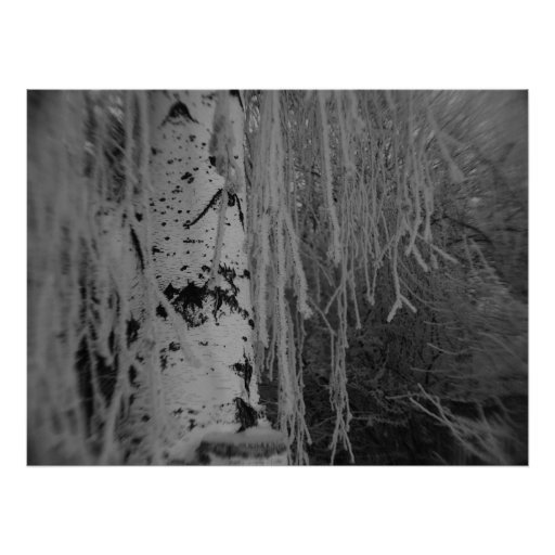 Black and White Weeping Birch Poster