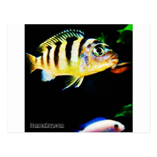 Black and Yellow African Cichlid Fish Postcard