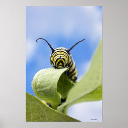 Black and yellow caterpillar poster