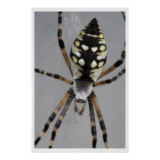 Black and Yellow Garden Spider Posters