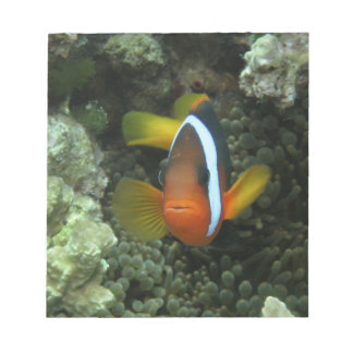 Black Anemonefish (Amphiprion melanopus) in Notepad