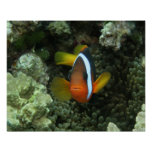 Black Anemonefish (Amphiprion melanopus) in Poster