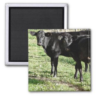 Black Angus Heifer Calves Square Magnet
