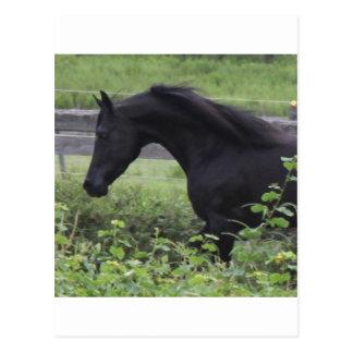 Black Arabian Stallion Postcard