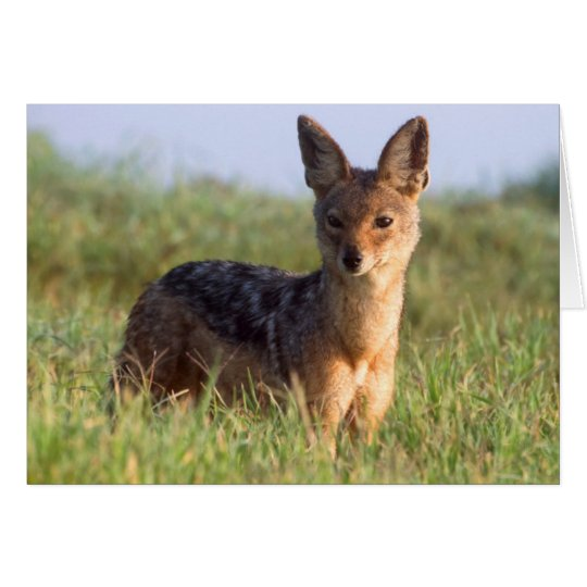 Black-Backed Jackal, Ngorongoro Conservation Card