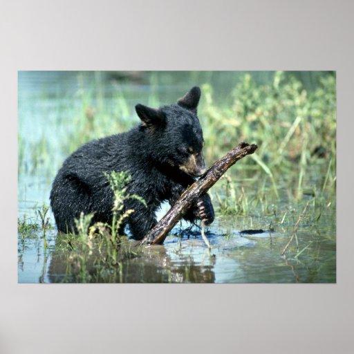 Black Bear-cub in summer marsh Poster