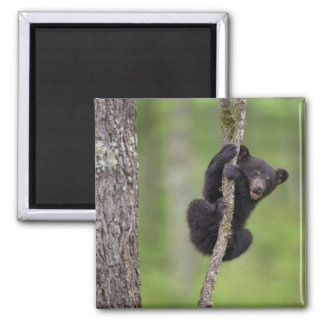 Black bear cub playing, Tennessee Square Magnet