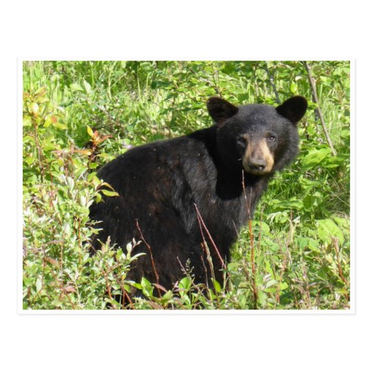 Black Bear Nature Postcard