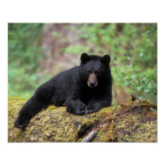 Black bear on an old growth log in the poster