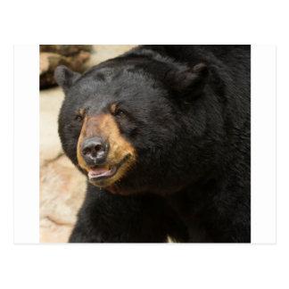 Black Bear Postcards