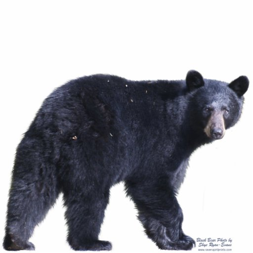 BLACK BEAR (sculpted) Wildlife Magnet Photo Cut Outs